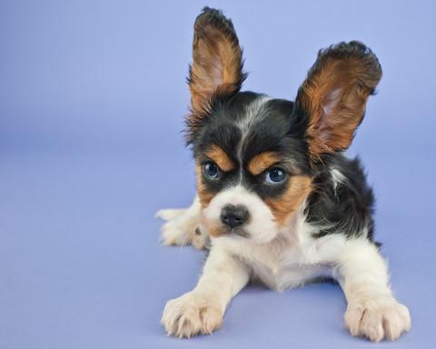 dog lung training